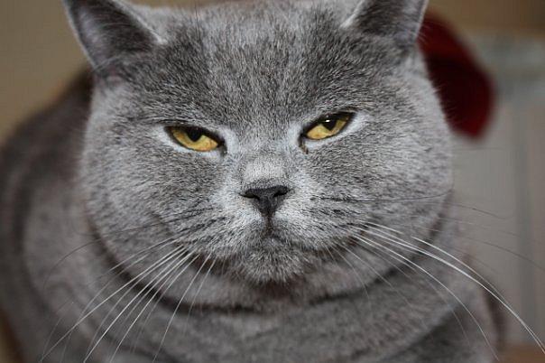 Кот сибирский голубой