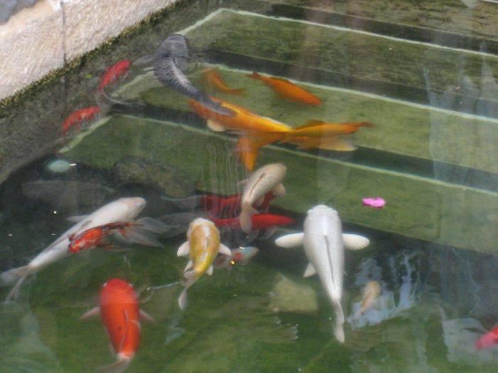 золотые рыбки (700x525, 43Kb)