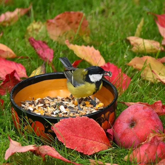 DSC_6481 Осенний пир для маленькой синички... (571x572, 123Kb)
