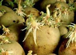 Проросший картофель от воспаления суставов/1868538_ (250x181, 11Kb)