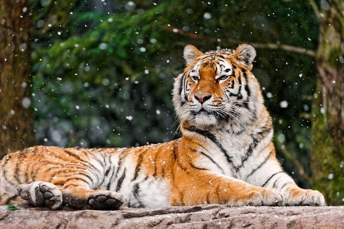 В Приморье спасают маленьких тигрят