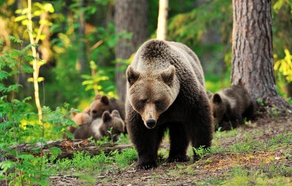 Как медведь и медвежата украли детские завтраки   фотографии