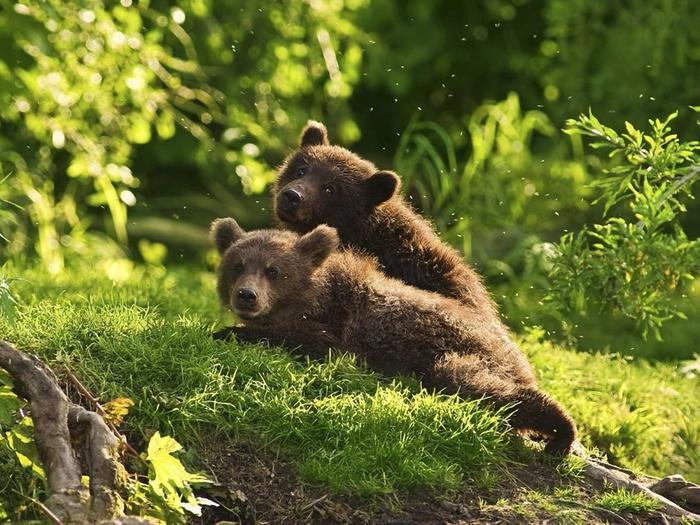 Медведь и медвежата украли детские завтраки