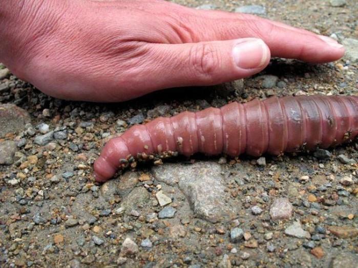 Гигантские червяки из Южной Америки (фото и видео)