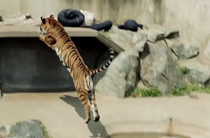 В японском зоопарке хищники делают модные джинсы