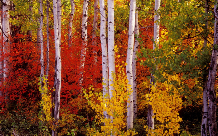 Autumn-birch-with-yellow-leaves-90871-1920x1200 (700x437, 583Kb)