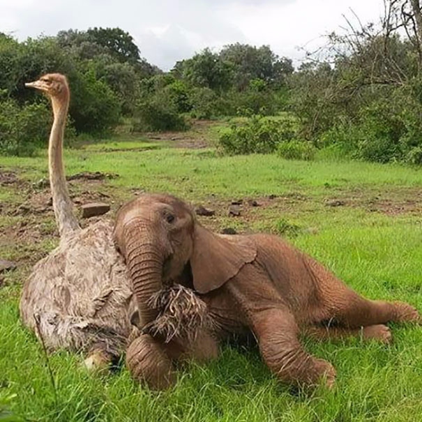 ostrich-snuggles-orphaned-elephants-5 (605x605, 344Kb)