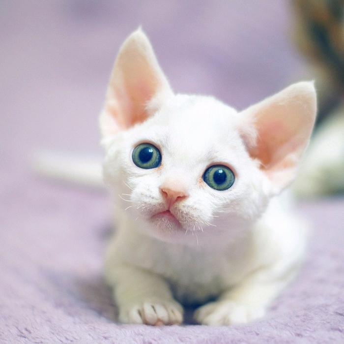 Питомник кошек Девон Рекс