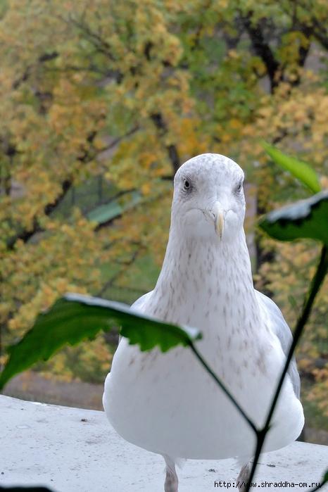 Чайка по имени Джонатан Ливингстон (2) (466x700, 243Kb)