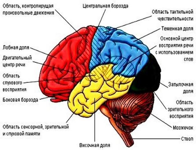 Вся правда о том, как устроен человеческий мозг