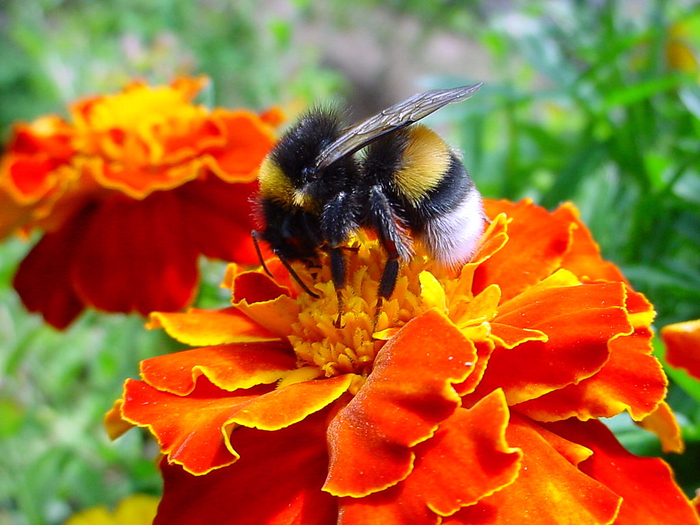 bumblebee-flowers-1 (700x525, 459Kb)