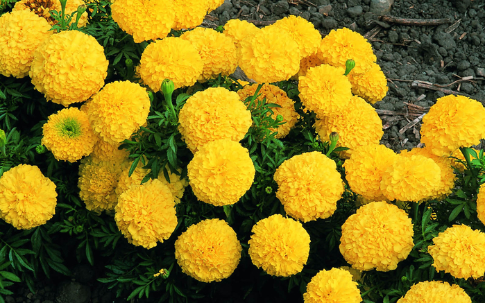 marigold-flowers-wallpaper-4 (700x437, 522Kb)