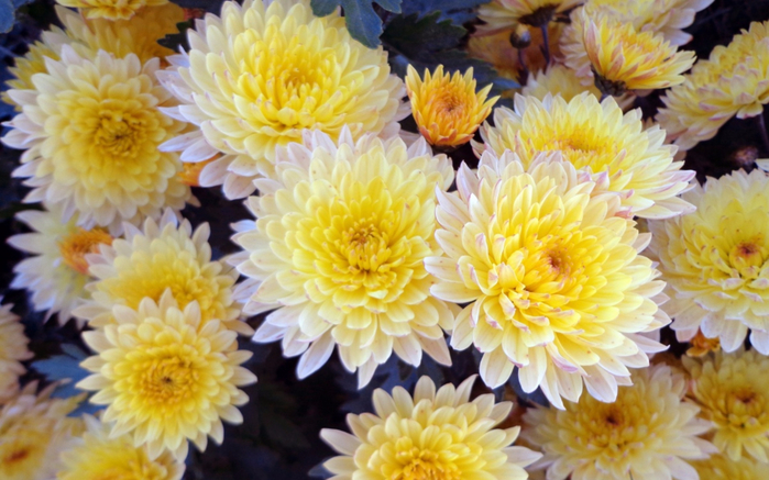 kartinki24_ru_chrysanthemums_23 (700x437, 381Kb)
