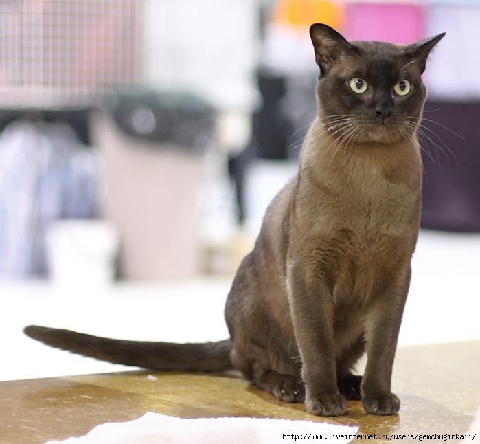 British_burmese_-_Andel_Alois_at_Cat_show (700x646, 190Kb)