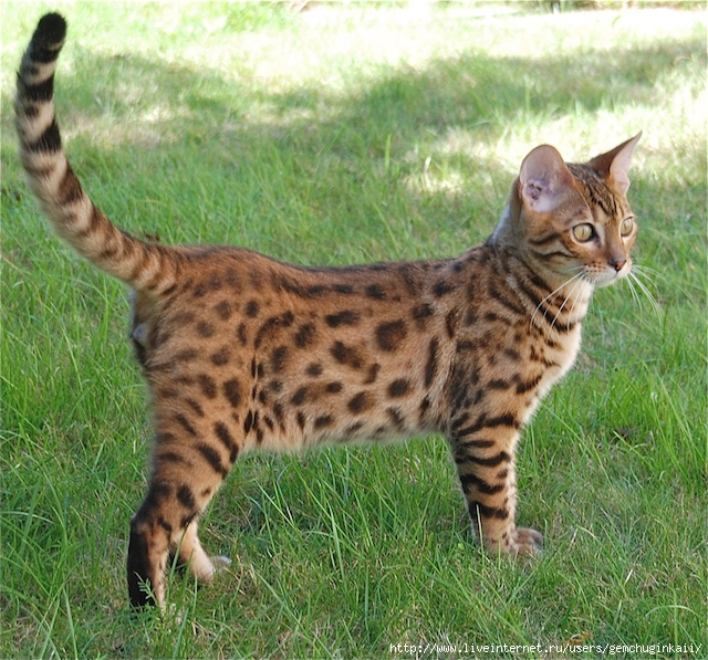 bengal-cats-and-kittens-028 (640x597, 321Kb)