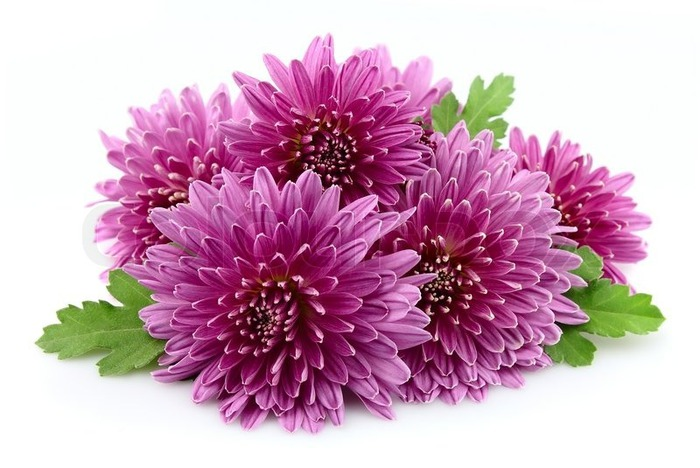 2847005-chrysanthemums-on-a-white-background (700x468, 86Kb)