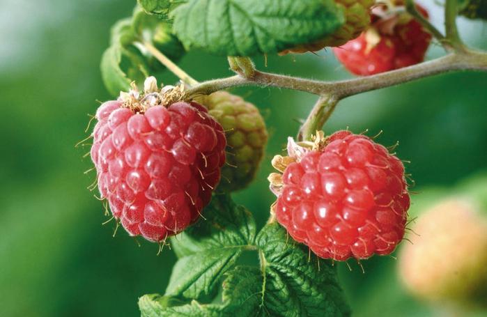 raspberries-site (700x455, 375Kb)
