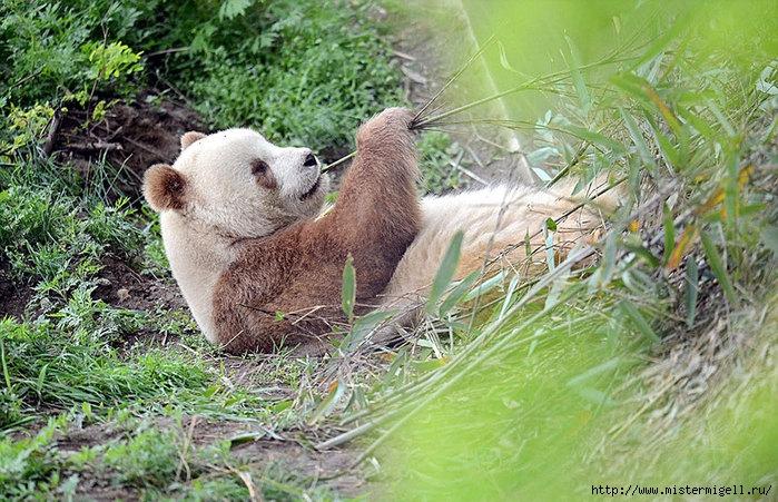 коричневая панда/3085196_original_1 (700x451, 319Kb)
