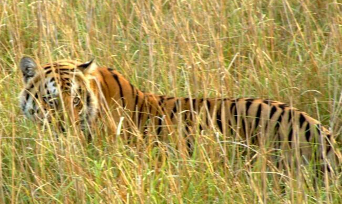 Sitabani-Wildlife-Reserve-tiger-in-grass-1020x610 (700x418, 352Kb)