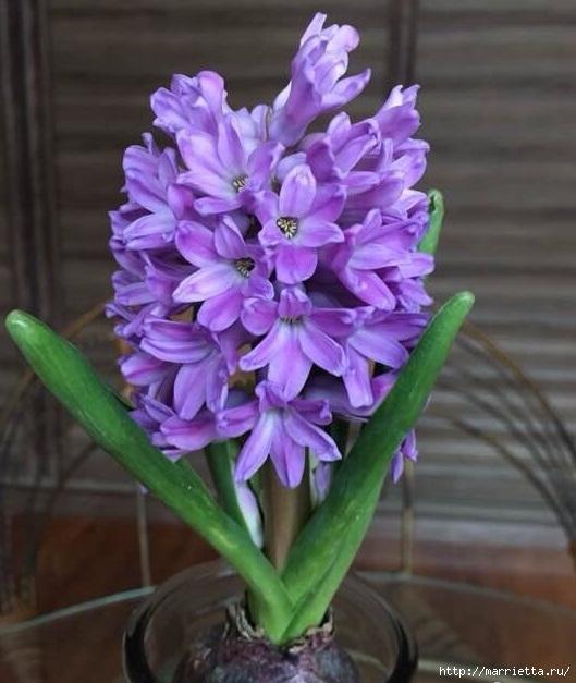 Гиацинты. Фото для весеннего настроения (8) (529x627, 177Kb)
