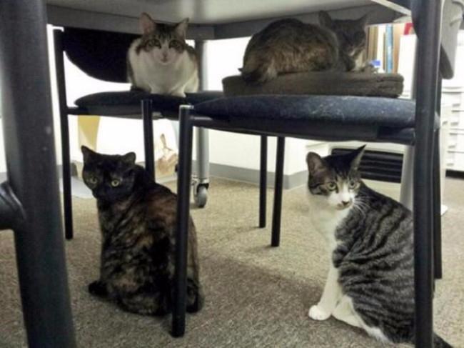 кошки в офисе 3 (650x487, 219Kb)