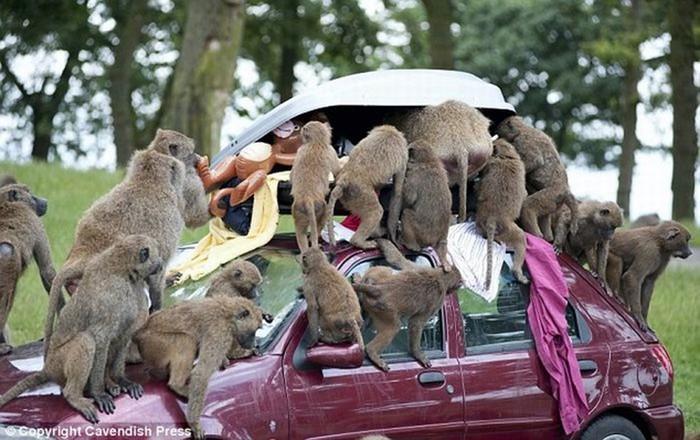 Шокирующие фотографии, как обезьяны испытывают автомобиль Hyundai и безвинных туристов
