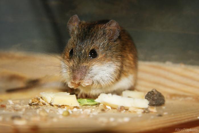 Что мыши едят/3085196_5254159199_a6675601f0_o (700x466, 231Kb)