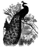 Превью peacock_2_lg (267x320, 140Kb)