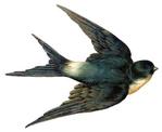 Превью swallow bird vintage image graphicsfairy007d (400x327, 72Kb)