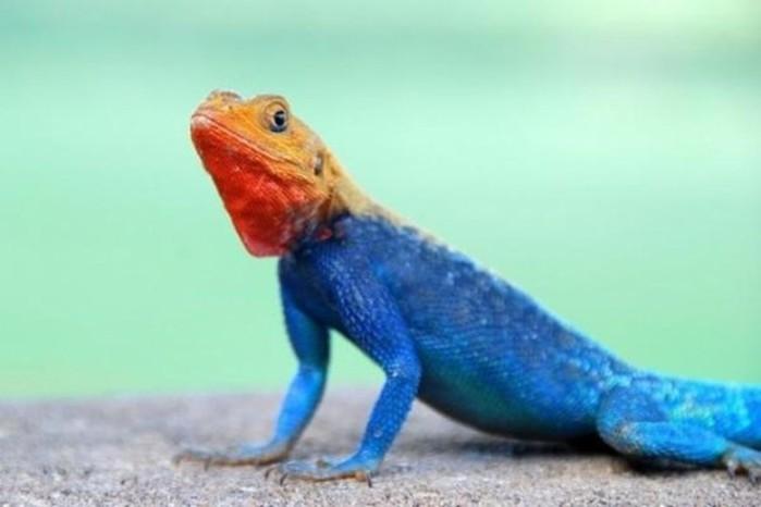 Самые красивые ящерицы   Фотографии ярких созданий