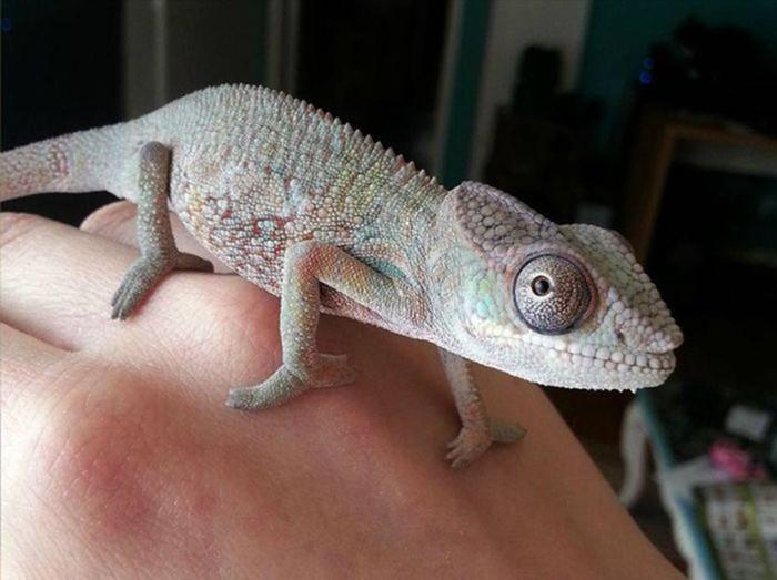 Хамелеоны   лучшие домашние животные среди рептилий