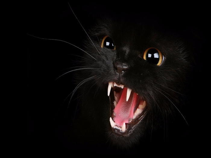 black-cat_3 (700x525, 152Kb)