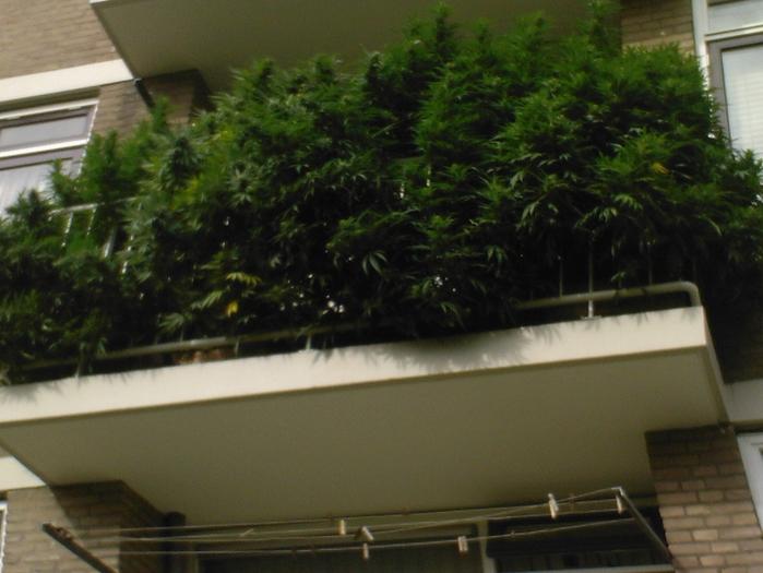 Возможно только в Голландии   травка на балконе