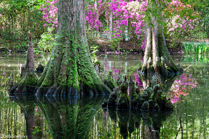 Magnolia Gardens Charleston SC South Carolina cypress (700x466, 316Kb)