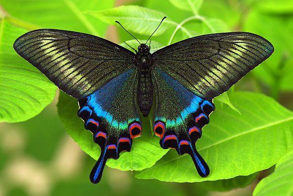 бабочка 8  (600x402, 61Kb)