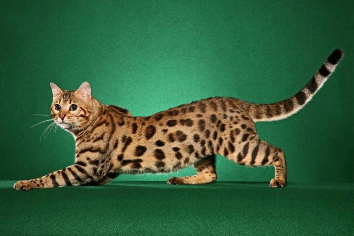 1-Кошка породы бенгальская (700x466, 313Kb)