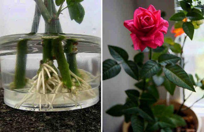 Как укоренить розу из букета. /3577132_kakukorenitrozu1730x473 (700x453, 52Kb)