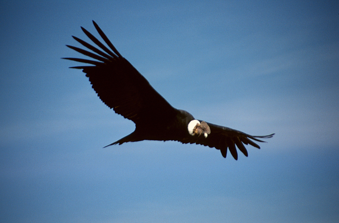 and_condor_polet (700x461, 384Kb)