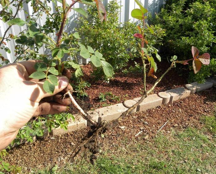 Укоренение черенков роз осенью