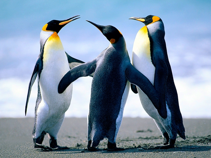Penguins (700x525, 285Kb)