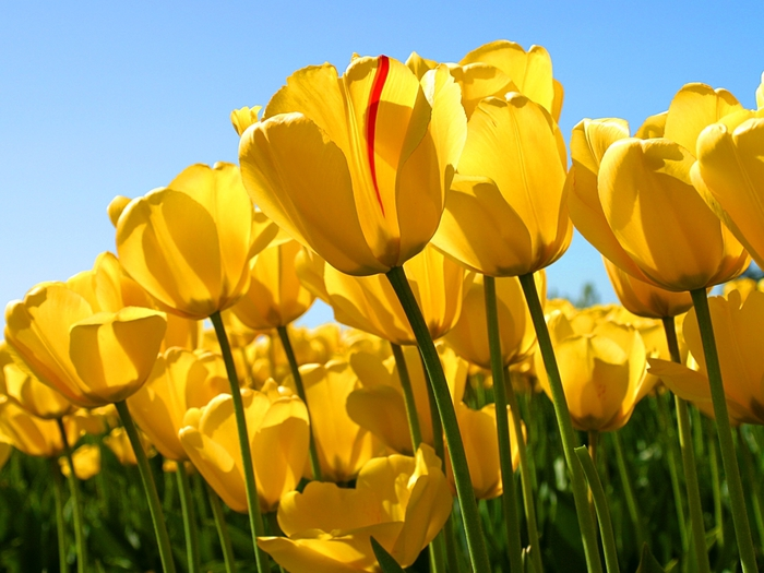 Tulips (700x525, 260Kb)