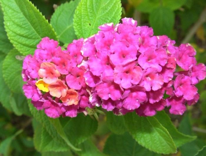 1417369_lantana_camara_flower (700x531, 354Kb)