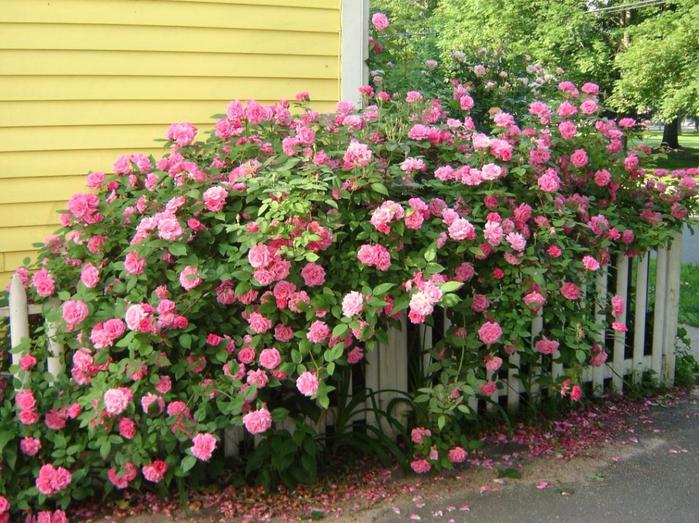 Rose-Bourbon-1 (700x523, 503Kb)