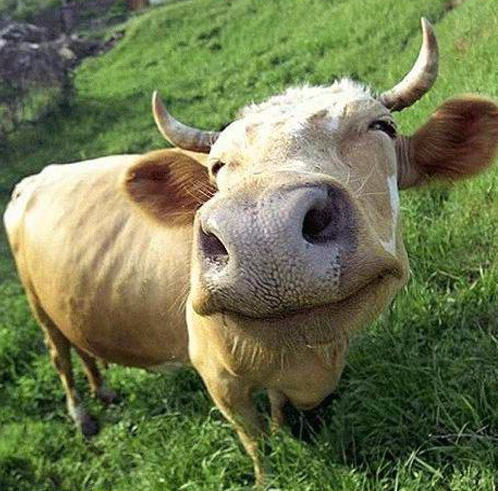 красивые коровы1 (498x491, 249Kb)
