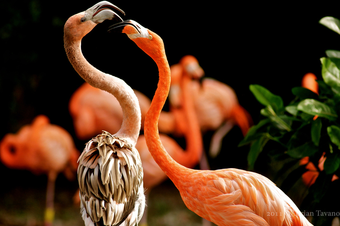 Flamingo_20 (700x465, 303Kb)