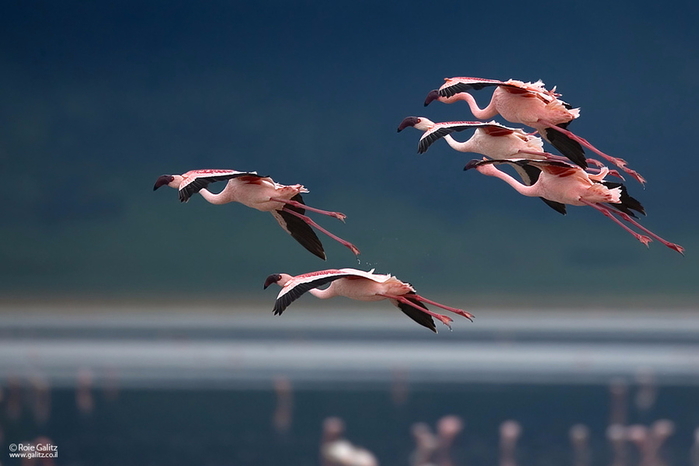 Flamingo_13 (700x466, 223Kb)