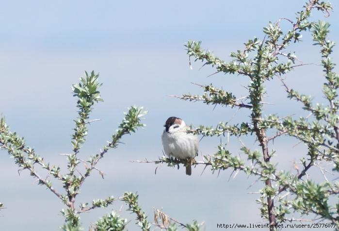 киргизия птица (700x476, 239Kb)