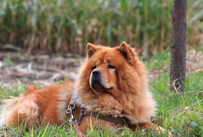 12-Чау-чау лежит на траве (700x471, 401Kb)