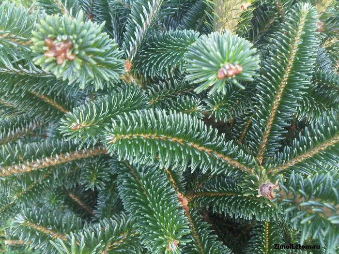 4265673_Christmas_tree_01 (700x525, 107Kb)