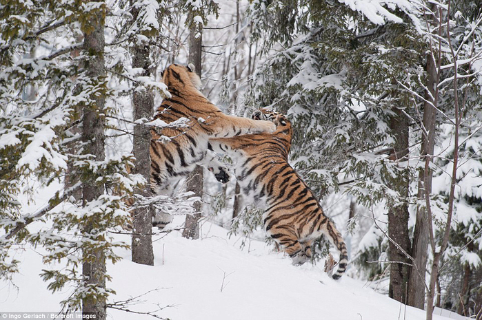 фото амурских тигров 2 (700x465, 455Kb)